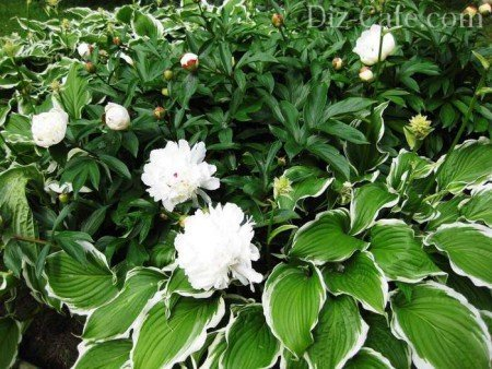Белые махровые пионы