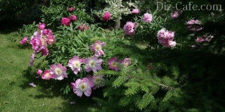 Розовые пионы рядом с хвойниками