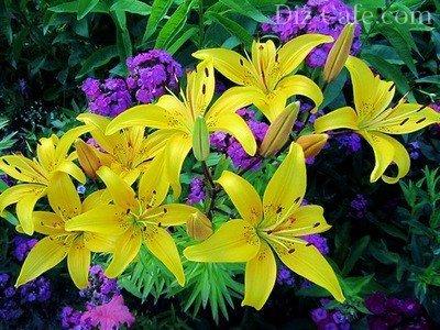 Лилия – красивоцветущая луковичная культура