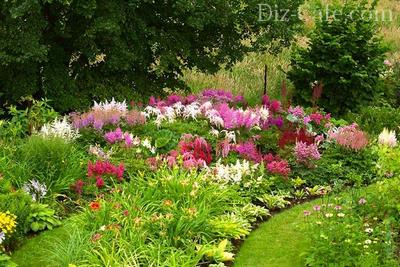 Многолетник желательно размещать таким образом, чтобы во всей красе представали не только ажурные соцветия, но открывались взору его изящные листья