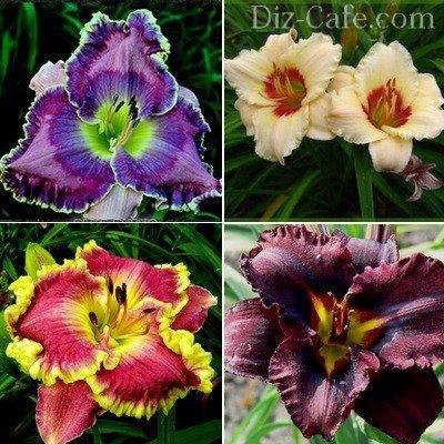 Красивые сорта лилейников