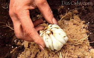 Посадка луковицы