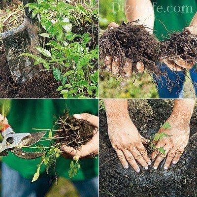 Вегетативное деление куста