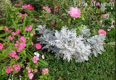 Флоксы и розы