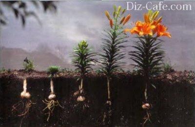 Можно ли сажать тюльпаны весной? Цветы Дача 22