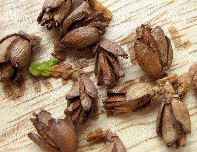 Семена туи