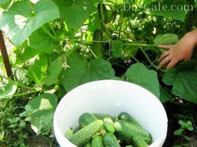 Сбор урожая с плетущихся лиан