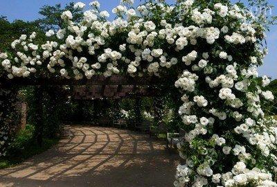 Изящная арка с плетистой розой