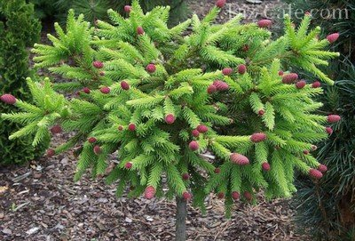 Виды елей: лучшие декоративные сорта для выращивания в саду