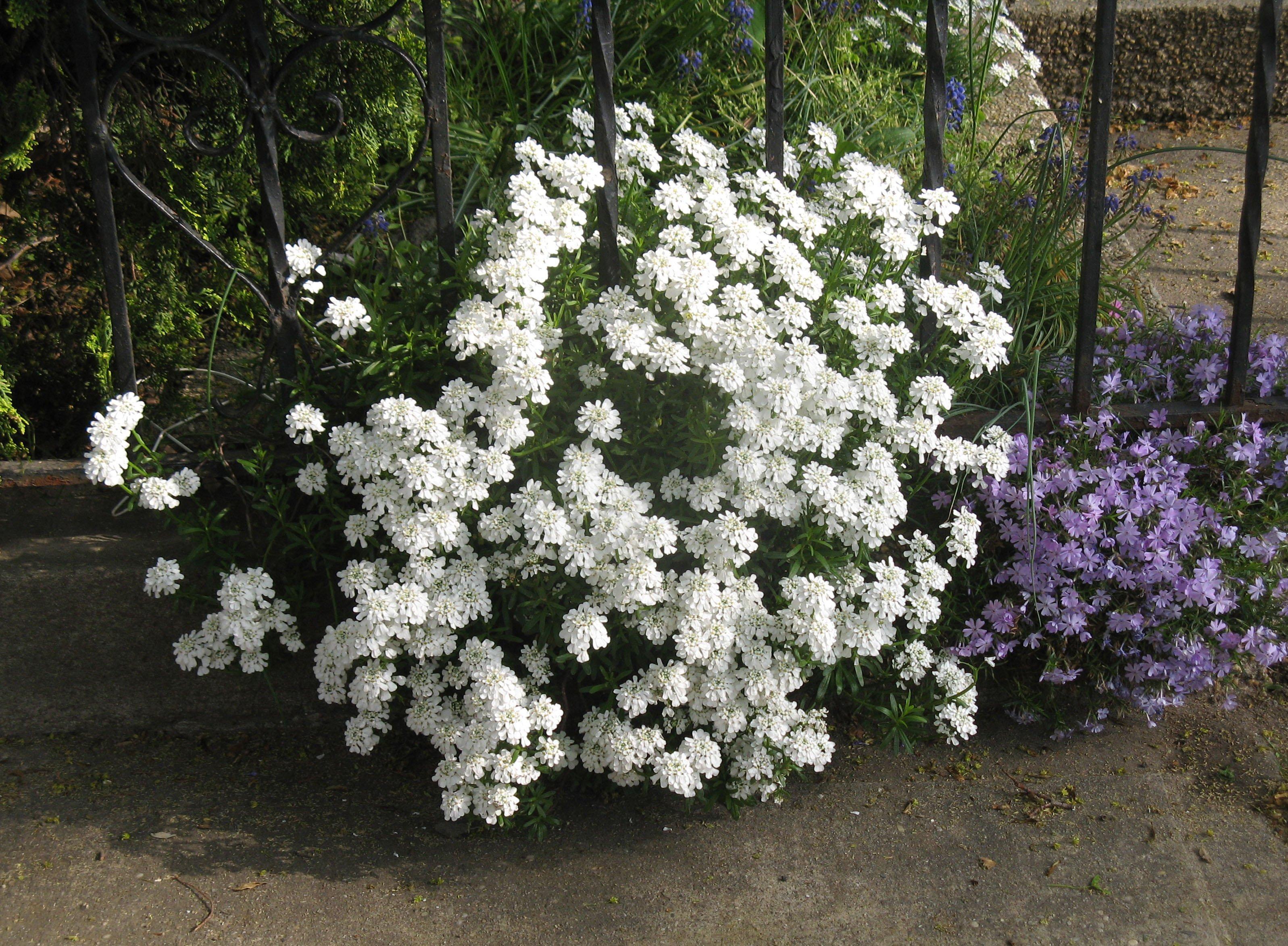 Кустарники в саду с белыми цветами