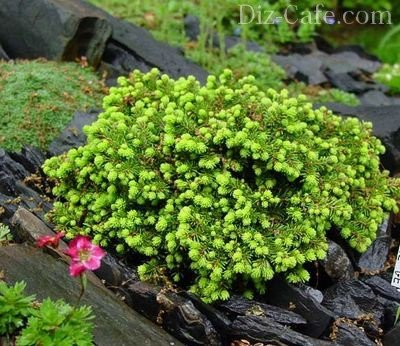 "Красавица Picea abies ""Little Gem"""