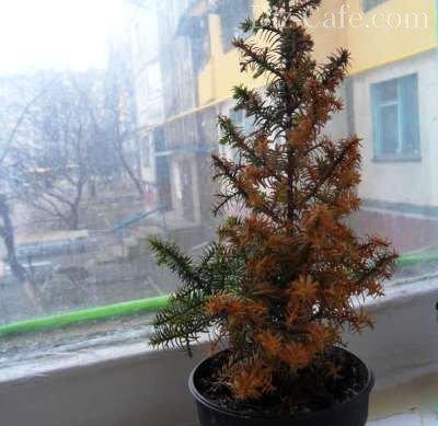 Пожелтевшая хвоя елки коники