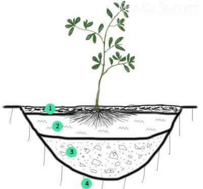 Рододендроны посадка и уход