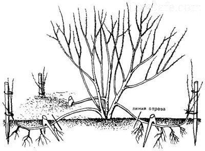 Рододендрон посадка и уход в открытом грунте в краснодарском крае