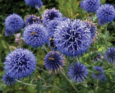 Цветки мордовника