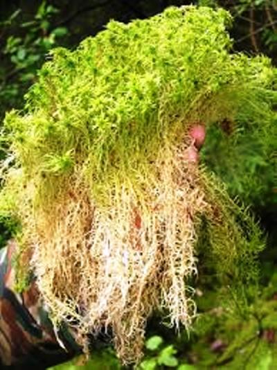 Сфагнум для озеленения