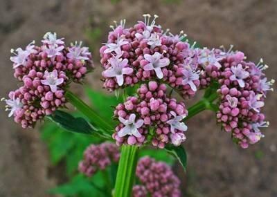 Клумба-аптечка на дачном участке: как выращивать лечебные травы