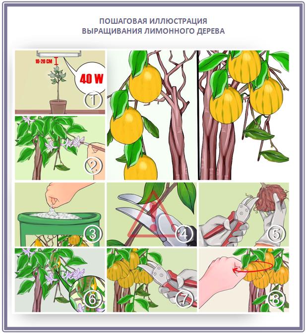Уход за лимонным деревом для сада