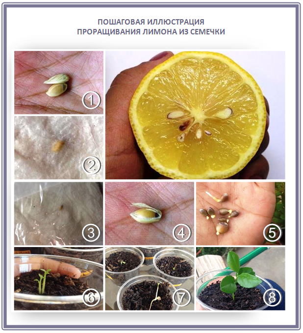 Выращиваем лимон пошагово