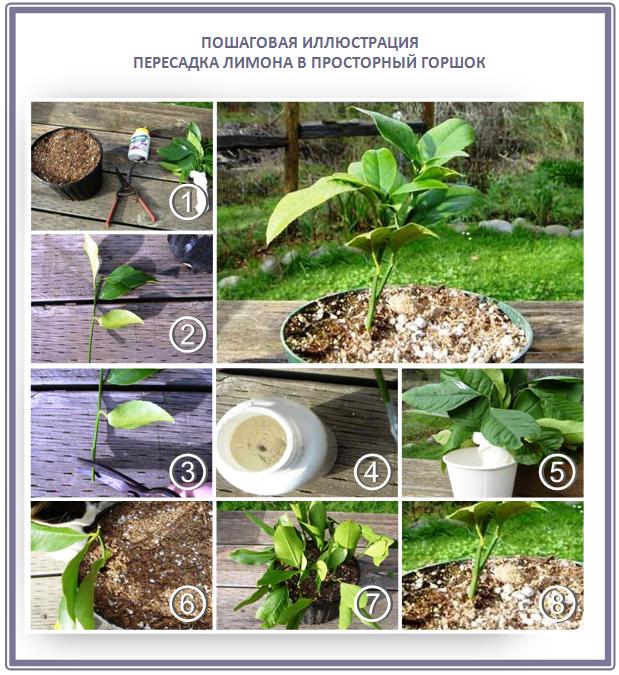 Выращивание лимонного дерева из черенка
