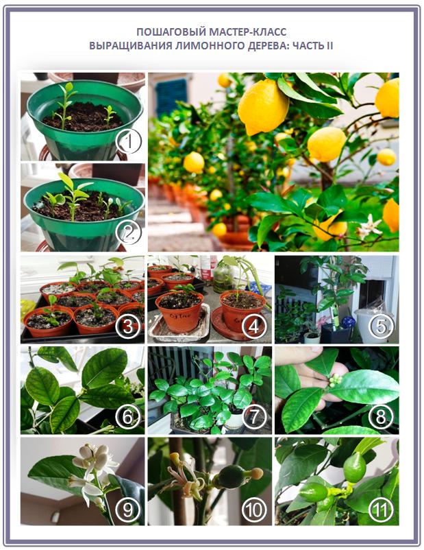 Пошаговый мастер-класс выращивания лимонного дерева