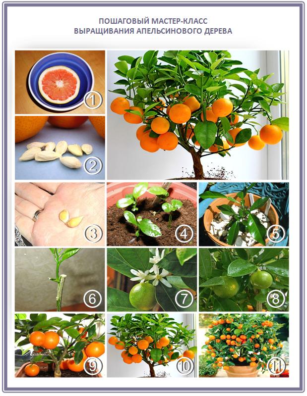 Как вырастить апельсиновое дерево из косточки своими руками