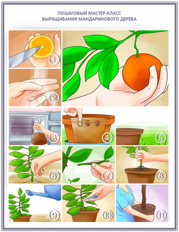 Как вырастить мандариновое дерево своими руками
