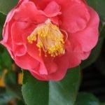 Розовый цветок камелии