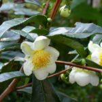 Белые цветки камелии