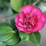 Круглый и ароматный цветок камелии