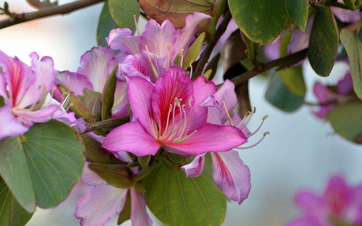 день этого баухиния орхидейное дерево фото брат прочитал