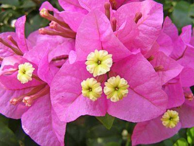 Бугенвиллия — цветы и прицветники крупным планом