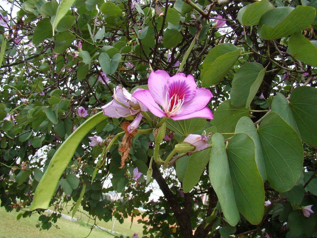орхидейное дерево баухиния в домашних условиях фото