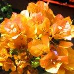 Бугенвиллия Golden Tango