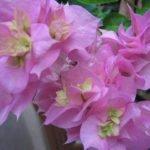 Бугенвиллия Double Pink