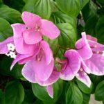 Бугенвиллия Strawberry Lace