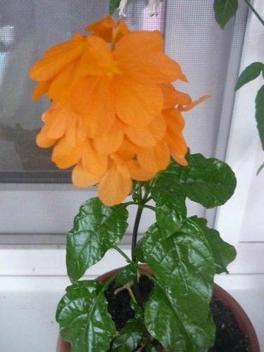 Молодая кроссандра цветёт