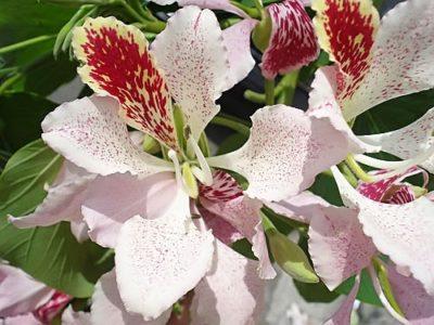 Цветки баухинии