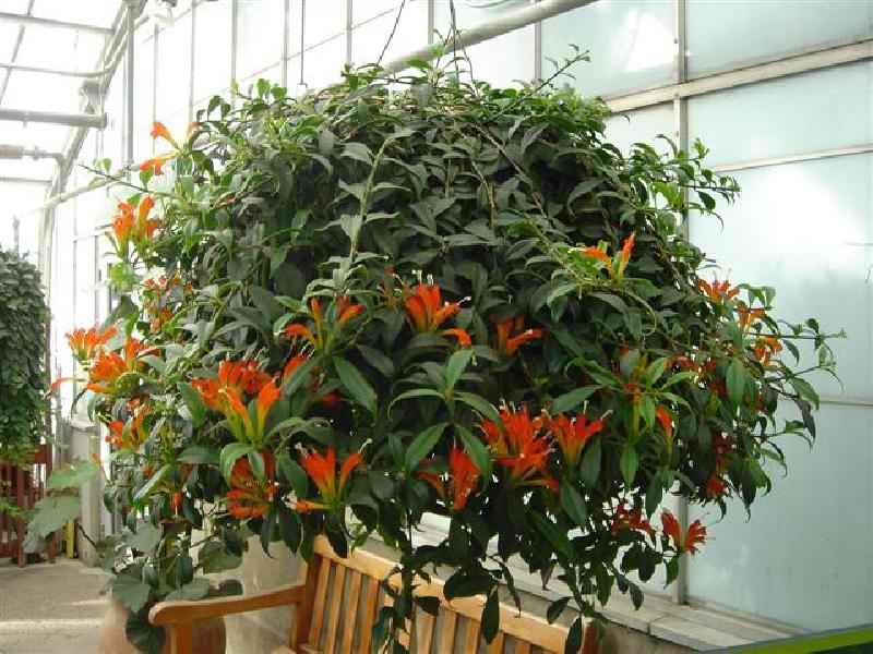 Комнатные цветы эсхинантус фото выращивание уход размножение 291