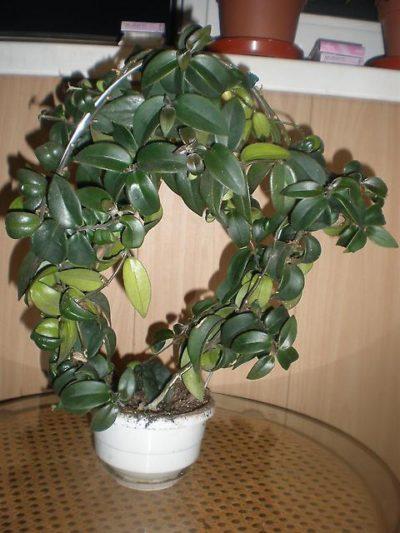 Эсхинантус, растущий на арочной опоре