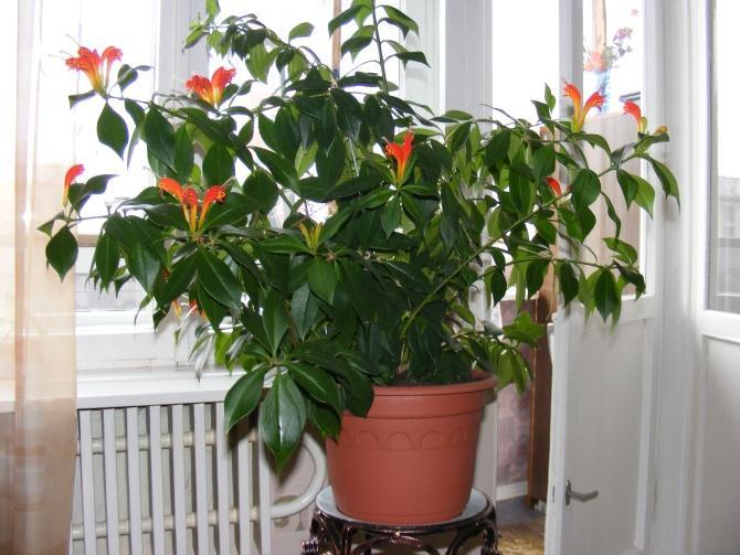 Комнатные цветы эсхинантус фото выращивание уход размножение 317