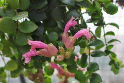 Цветение эсхинантуса