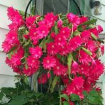 Эпифиллум цветет