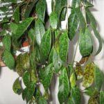 Эсхинантус мраморный