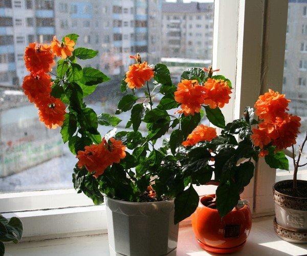 Кроссандра выращивание и уход 58