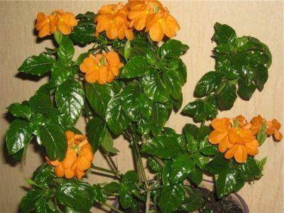 Куст кроссандры с цветами