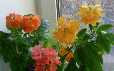 Цветение кроссандры разных сортов