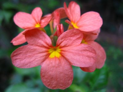 Цветок кроссандры крупным планом