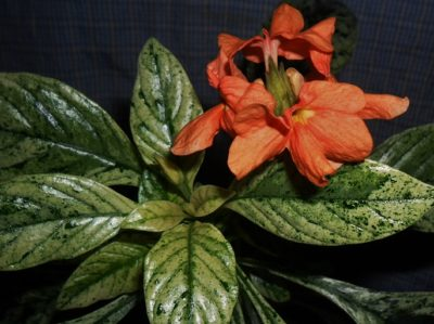 Кроссандра вариегатная с цветами