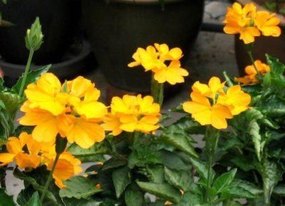 Кроссандра жёлтая